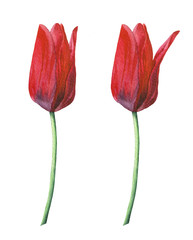 Watercolor red tulips