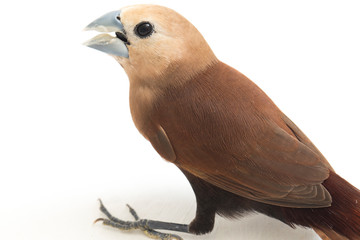 The white-headed munia (Lonchura maja) is a species of estrildid finch found in Indonesia, Malaysia, Singapore, Thailand and Vietnam. isolated on white background Wall mural