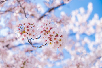 Pink cherry blossom under blue sky