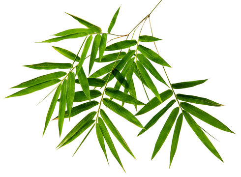Bambusa leaf(Bamboo)tropical isolated on white background, top angle view,with clipping path.