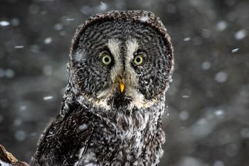 Papiers peints Chouette portrait of an owl