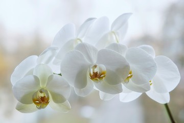 Tuinposter Orchidee Branch of blooming white orchid closeup