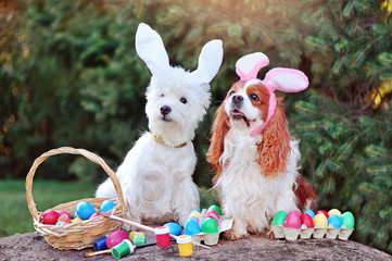 White west highland and King charles spaniels wearing Easter bunny ears