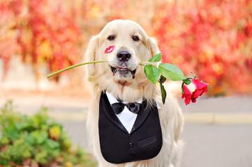 Golden retriever in tuxedo collar holding rose in teeth