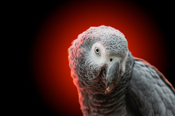 gray parrot on a red-black background