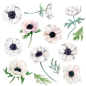 Watercolor collection of white anemones, flowers and leaves