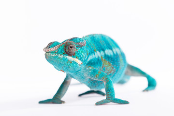 Fotobehang Kameleon Close up of rare Panther Chameleon Nosy Be on white background.