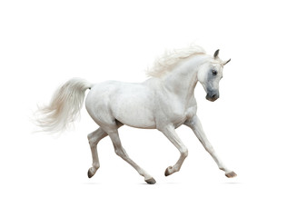 Foto auf Leinwand Pferde Snow white arabian horse running isolated