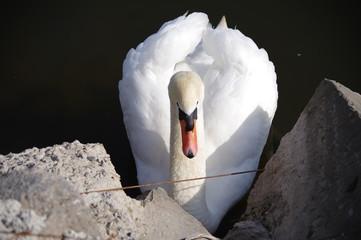 Poster Zwaan White swan on the lake
