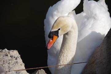 Foto op Plexiglas Zwaan White swan on the lake