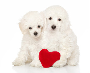 Two adorable poodle puppies sit with a red heart