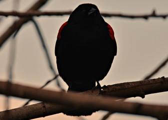 Recess Fitting Bird Red wing black bird