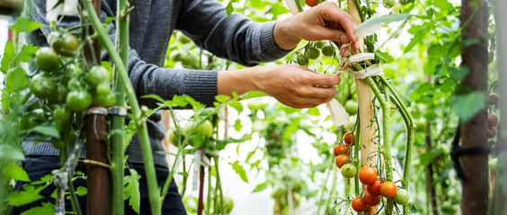 Woman caring for growing tomato fruits in a greenhouse Fototapete