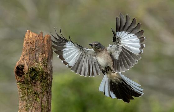 Northern Mockingbird (Mimus polyglottos), Rio Grande Valley, Texas, USA