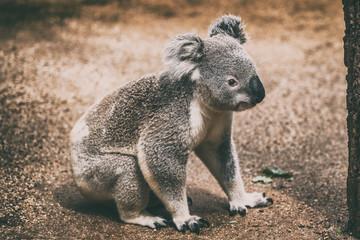 Garden Poster Koala Koala wildlife animal in Australia