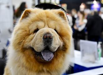 Dog photo, Chow Chow Dog
