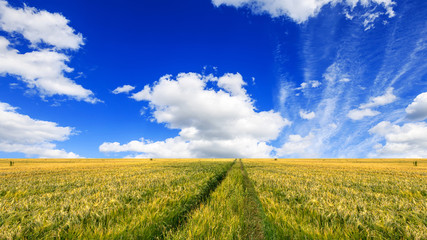 Wall Mural - Scenic view of grain field and bright blue sky with cumulus. Rural summer landscape. Beauty nature, agriculture and seasonal harvest time.