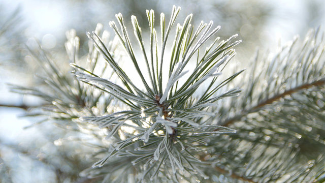 Hoarfrost on the Needles of Spruce. Close Up