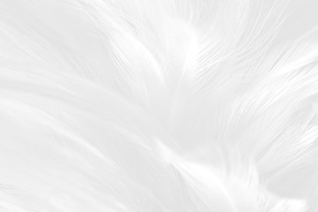 White feather pattern texture background. Luxury, beautiful abstract White soft-light blur. Macro, detail texture of pattern design, elegance with free space copy for backdrop or wallpaper.