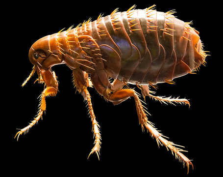 Full medically accurate isolated Model of a Flea