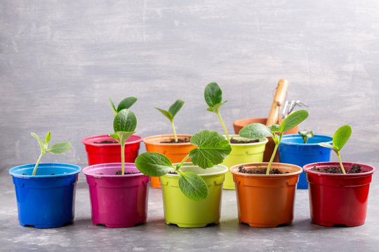 Zucchini courgette or squash seedlings  growing in colorful pots. Ready to planting out. Gardening concept. Copy space.