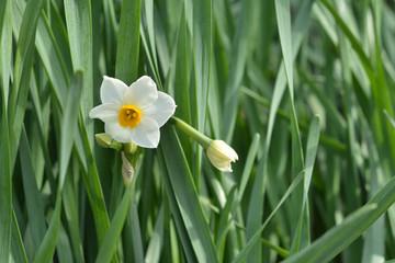 Photo sur Plexiglas Narcisse 水仙の花