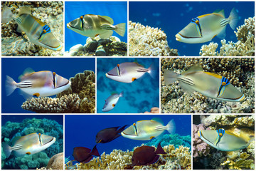 Picasso triggerfish or Arabian picassofish (Rhinecanthus assasi) collage set