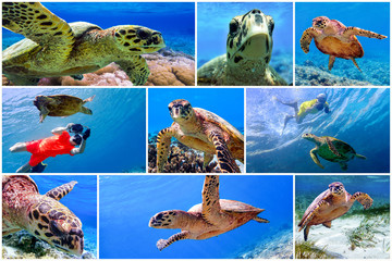 Hawksbill sea turtle in the blue water of the ocean  - set - collage