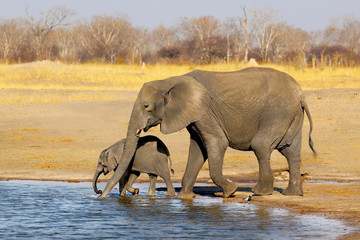 Foto op Canvas Olifant Mother Elephant and baby elephant drinking water