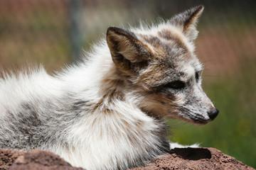 A wolf cub