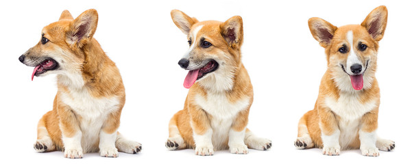 funny red welsh corgi puppy sitting and looking up on a white background