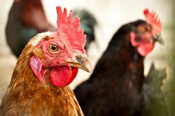 Poster de jardin Poules Wolny chów kur jest ekologiczny i dobry dla kur. Naturalnie kura znosi jajko co drugi dzień.