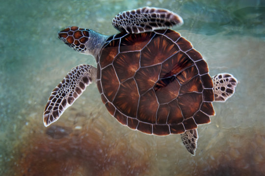 Top View of Beautiful Young Green Sea Turtle in Grand Cayman