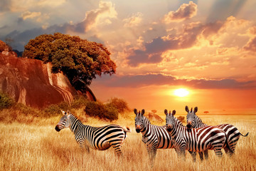 Fototapeten Zebra Zebras in the African savanna against the backdrop of beautiful sunset. Serengeti National Park. Tanzania. Africa.