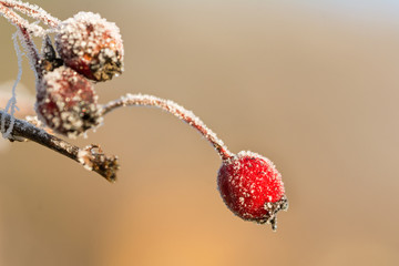 Closeup macro shot of frozen red rosehip in winter covered by beautiful ice crystals