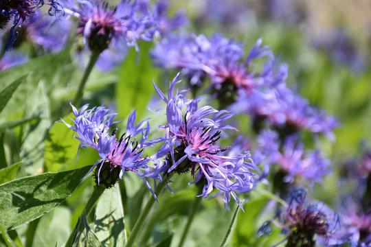 Lovely Flowering Blue Bachelor Button Flowers in Bloom