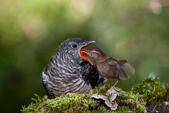 Common cuckoo, Cuculus canorus. Young man in the nest fed by his adoptive mother - Troglodytes troglodytes - Winter wren