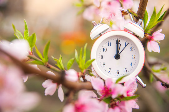 The concept of the beginning of spring. Alarm clock on a flowering branch close-up and copy space. White clock and flowers as a postcard for the holiday.
