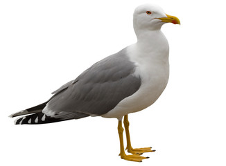 White and grey seagull isolated on white Fototapete