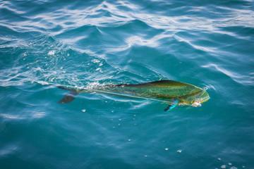 Mahi Mahi, Golden Dorado an der Angelrute beim Meeresangeln vor der Küste Kolumbiens