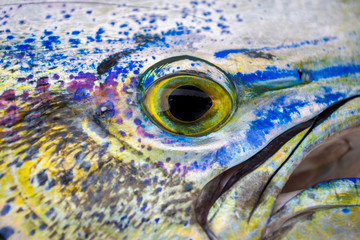 Detail Foto eines Mahi Mahi, Golden Dorado farbenfroh bunter Meeresfisch