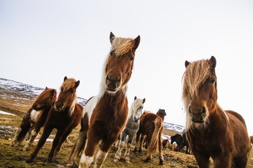 Wall Murals Northern Europe Low angle view of Shetland Ponies in a field covered in the grass and snow in Iceland