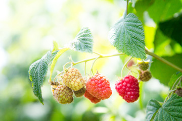 Ripe raspberry in the fruit garden. Raspberry bushes with ripe berries