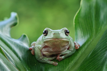 Wall Mural - Australian white tree frog on leaves, dumpy frog on branch, animal closeup, amphibian closeup