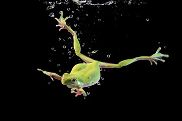 Wall Mural - Australian tree frog in the water, swimming frog