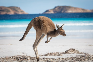 Deurstickers Kangoeroe A kangaroo hopping along on the beach at Lucky Bay in the Cape Le Grand National Park, near Esperance, Western Australia