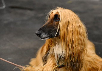 Dog photography, Afghan Hound Dog isolated