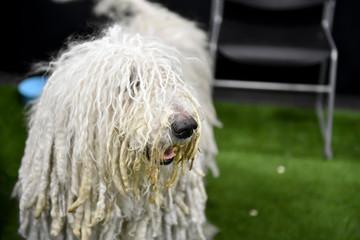 Dog photography, Komondor Dog isolated