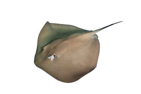 Stingray isolated on white background with clipping path