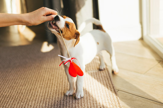 Cute puppy Jack Russell Terrier holding a red heart.